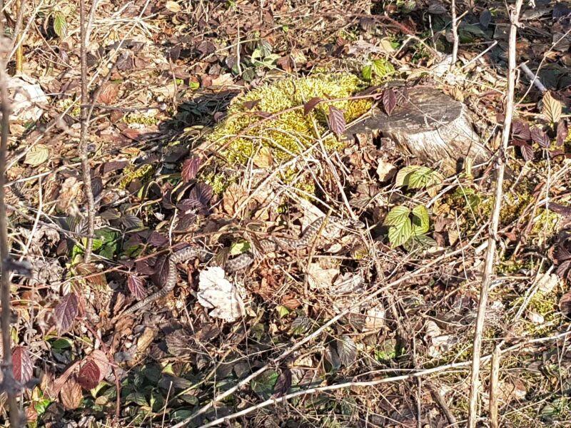 Żmija zygzakowata (M.Hołub/Lasy Państwowe)