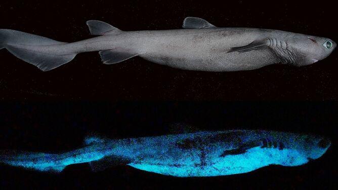 Świecące rekiny. Żyją tak głęboko, że dopiero teraz udowodniono ich wyjątkowość