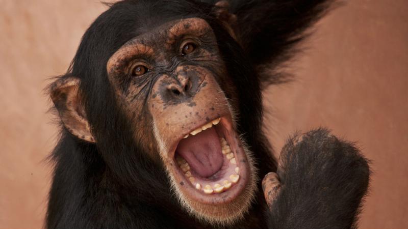 Szympansy, pod względem okazywania emocji, przypominają ludzi