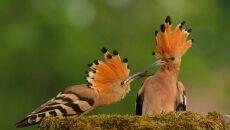 Jeden z najbardziej kolorowych ptaków - Dudek