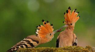 Kolorowe ptaki zamieszkujące Bagna Biebrzańskie