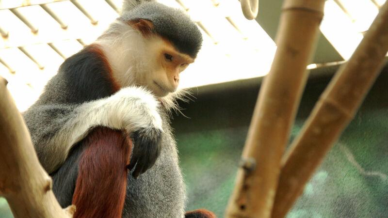 Langur wspaniały został zabity Wietnamie [Art G./Flickr/Wikimedia (CC BY 2.0)]