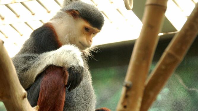 Zabili i zjedli małpę krytycznie zagrożoną wyginięciem. Wszystko transmitowali na żywo