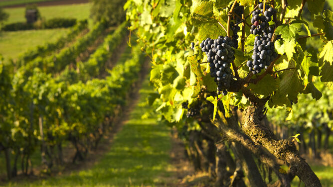 Zmiany klimatu a wino. Włoskie stają się mocniejsze, a polskie dostają szansę