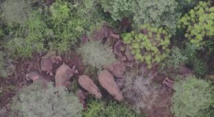 Stado słoni w czasie drzemki w lesie